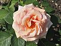 Rosa 'Exotic' qtl1.jpg