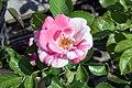 Rosa Berries n Cream 2zz.jpg