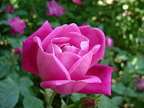 Rosa chinensis wikip dia for Plantas ornamentales wikipedia