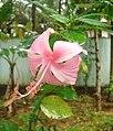Rosechemparathi.jpg