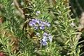 Rosmarinus officinalis Santa Barbara 0zz.jpg