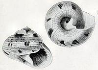 Rossiteria nucleolus 001.jpg