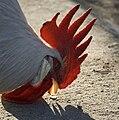 Roter Hahnenkamm.jpg