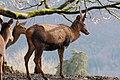 Rotwild, Cervus elaphus 07.JPG