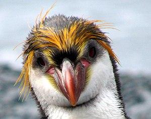 Royal penguin - Royal penguin head