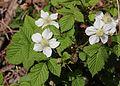 Rubus hirsutus s2.jpg