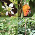 Rubus sumatranus (Montage s2).jpg