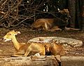 Rucervus eldii siamensis Dusit Zoo.JPG