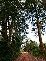 Ruelle centrale du centre de recherche agricole plantes pérennes Pobé CRA-PP Pobé.jpg