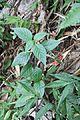 Ruellia coccinea - El Yunque nat park PR IMG 2035.JPG