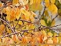 Rufous-backed Redstart (Phoenicurus erythronotus) (46804473751).jpg