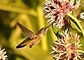 Rufous Hummingbird (juvenile male) on Seedskadee National Wildlife Refuge (28445904726).jpg