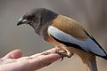 Rufous Treepies perched on Hand.jpg