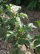 S. tuberosum-5.JPG