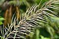 Saccharum spontaneum - Indian Botanic Garden - Howrah 2012-09-20 0133.JPG
