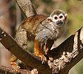 Saimiri sciureus - Phoenix Zoo.jpg