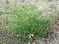 Salicornia prostrata sl11.jpg
