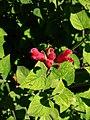 Salvia univerticillata (Scott Zona) 001.jpg