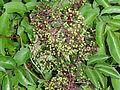 Sambucus nigra ssp canadensis SCA-04388.jpg