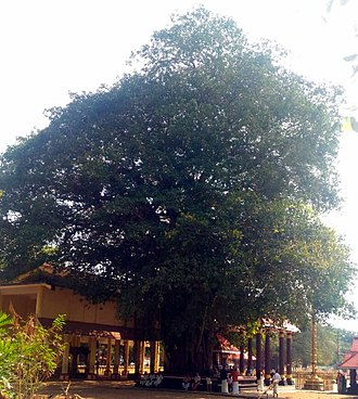Banyan - Ficus tree in front of Sarkaradevi Temple, Kerala, India