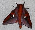 Saturniid Moth (Adelowalkeria plateada) (25914895668).jpg