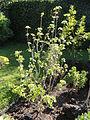Saviniona acerifolia - Botanischer Garten, Frankfurt am Main - DSC02386.JPG