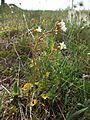 Saxifraga granulata sl1.jpg