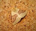 Scalloped Oak. Crocallis elingularia form unicolor (31859382618).jpg