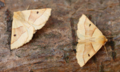 Scalloped oak (43207070412).png