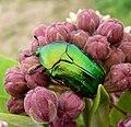 Scarabaeidae. Cetoniinae . ( Cetonia aurata^) - Flickr - gailhampshire.jpg