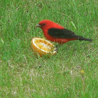Scarlet tanager - Scarlet tanagers eat ripe fruit when available, occasionally including ones, such as this orange half, that are set out by humans