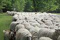 Schafe in derTeverener Heide.jpg