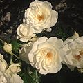 Schneewittchen rose.jpg