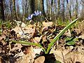 Scilla drunensis sl18.jpg