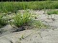 Scirpus radicans sl24.jpg