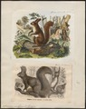 Sciurus vulgaris - 1700-1880 - Print - Iconographia Zoologica - Special Collections University of Amsterdam - UBA01 IZ20400003.tif
