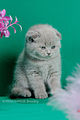 Scottish fold- straight 18.JPG