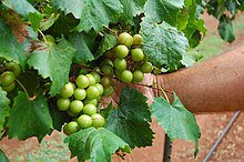Scuppernong vines in Mocksville, North Carolina