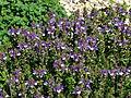 Scutellaria baicalensis 01.JPG