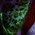 Section of mouse brain (false color).png