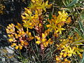 Sedum lanceolatum Upper Ruby River Montana 02.JPG