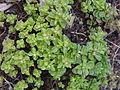 Sedum stellatum (4).jpg