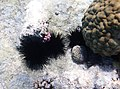 Seeigel im Roten Meer..DSCF0770BE.jpg