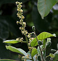 Semecarpus anacardium (Marking Nut) W IMG 1400.jpg
