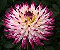 "Semi-cactus Dahlia, ""Match"" cultivar.jpg"