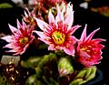 Sempervivum flower 02.jpg
