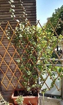 Ornamental Plant Wikipedia