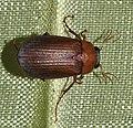 Serica-brunnus-02-fws.jpg