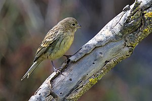 Atlantic canary - Juvenile on Gran Canaria, Canary Islands, Spain