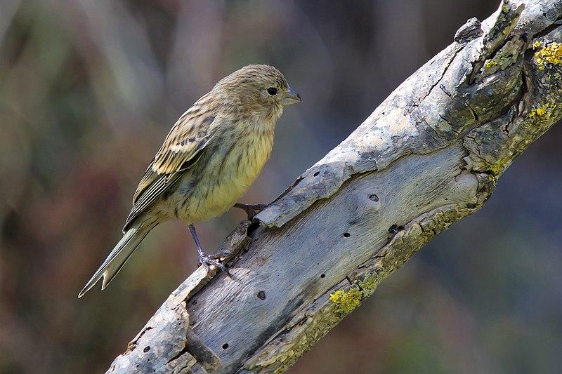 Juvenile Canary
